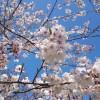 海軍道路と桜とエシュロン